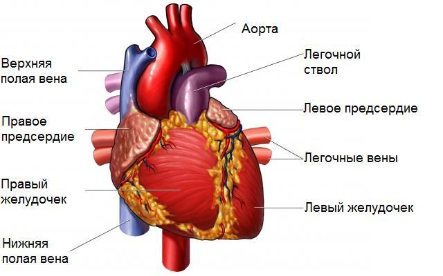 a pénisz fiziológiája és szerkezete