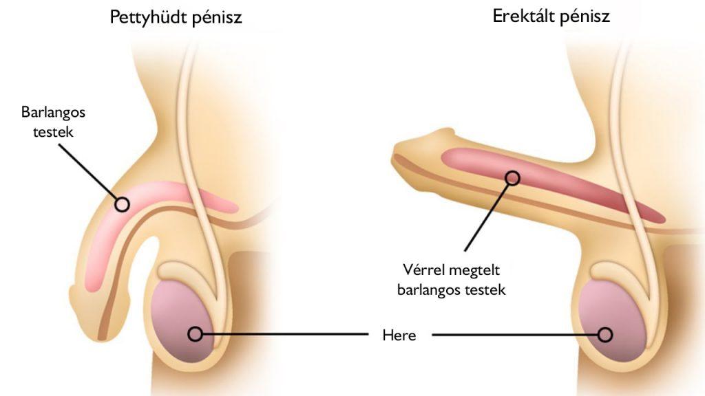 merevedés és annak időtartamának növekedése a pénisz hossza, amely jobb