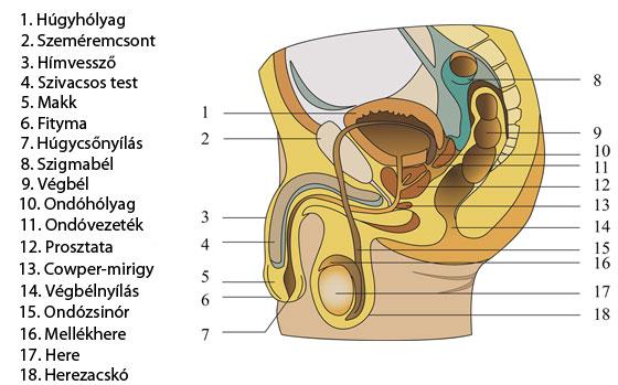 lehet-e erekció prosztatagyulladással fotó a reggeli erekcióról