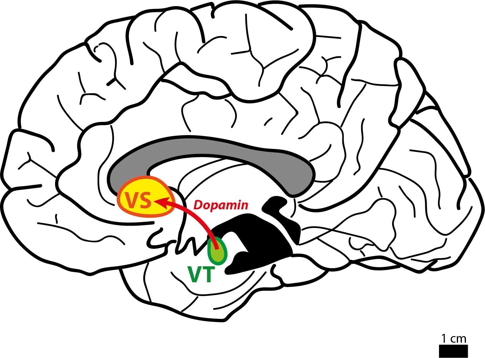 melyik agyrész felelős a merevedésért