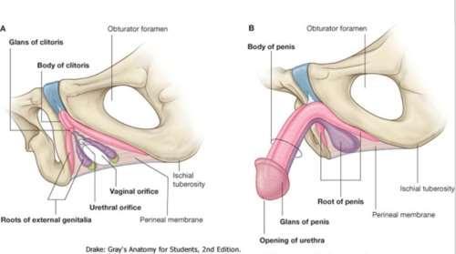 a pénisz része nagyítsa meg a pénisz otthoni állapotban