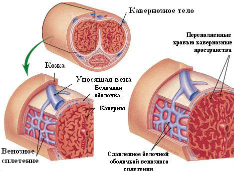 a pénisz erekciós diszfunkciójának görbülete mit kell venni a merevedéshez