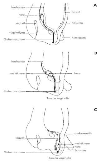 meddig normális a pénisz