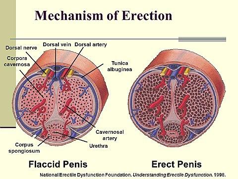titkok a férfiaknak az erekcióról