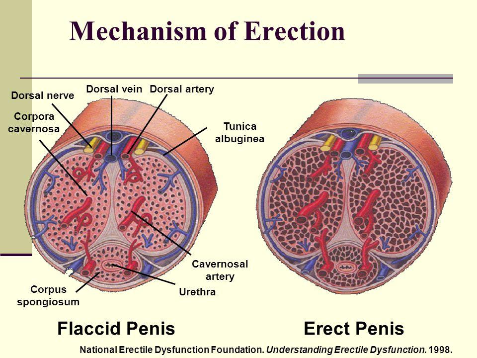 hogyan működik az erekciós mechanizmus felállítja a mechanizmusát