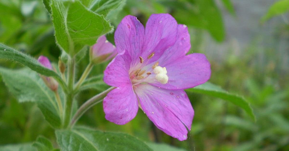 Természetes viagra – gyógynövényes receptek | cafepiazza.hu