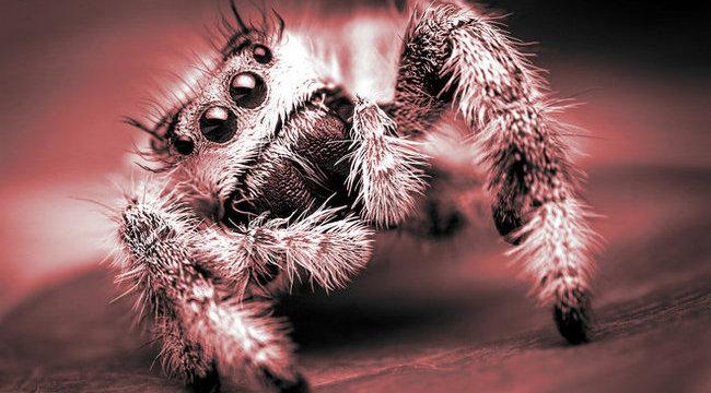 erekciót okozó pókcsípés